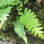 Plantes des murettes