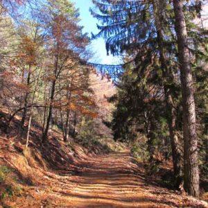 Épicéa et châtaignier dans une forêt du mont Mars