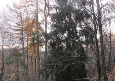 Mélèze et épicéa dans une forêt du mont Mars