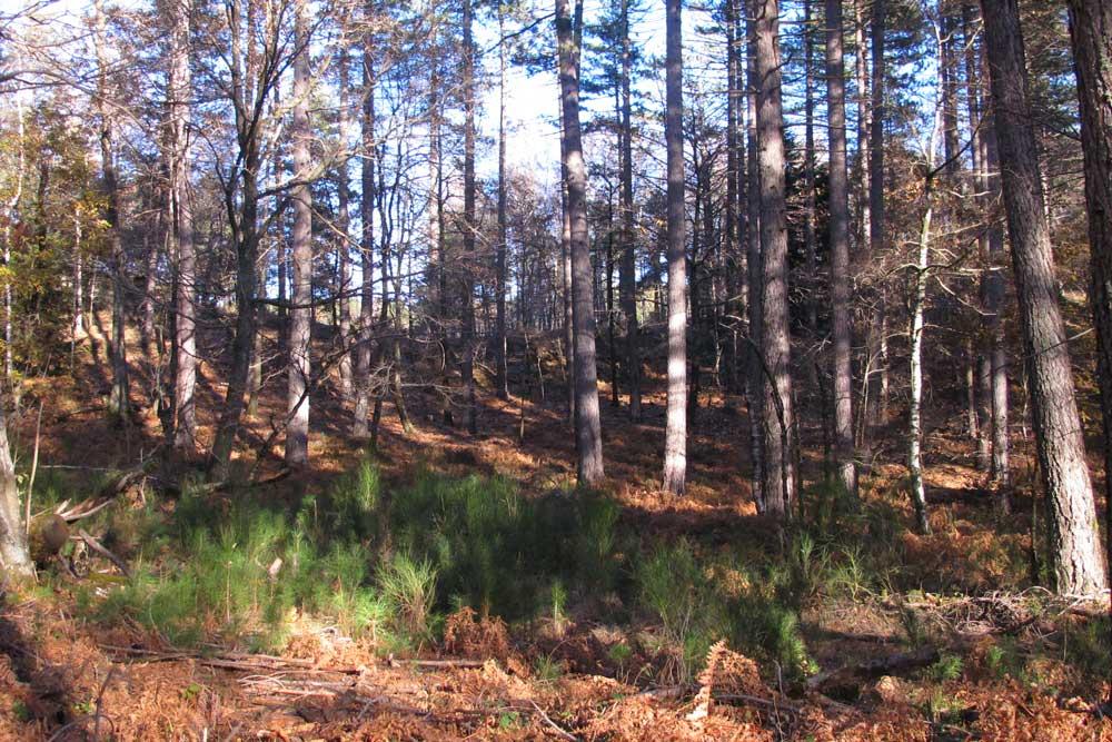 Régénération du pin dans une forêt du mont Mars