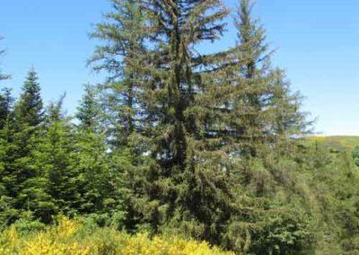 Mélèze, épicéa et sapin dans la forêt du Marquairès