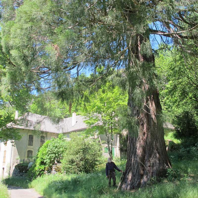 Maison forestière de Marquairès et son séquoia