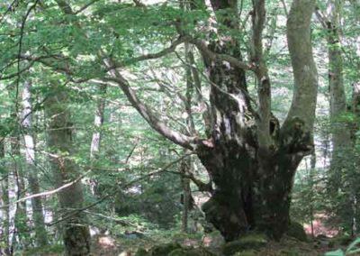 Hêtraie sur éboulis dans la forêt du Marquairès
