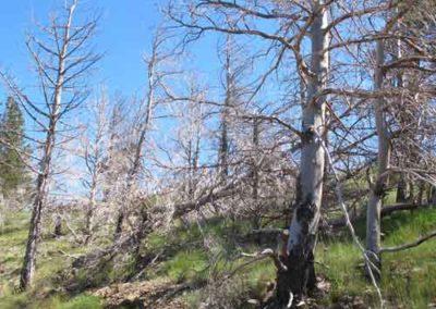 Arbres incendiés suite à un écobuage dans la Mélèze, épicéa et sapin dans la forêt du Marquairès