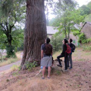 Séquoïa géant de la forêt protégée du Marquairès