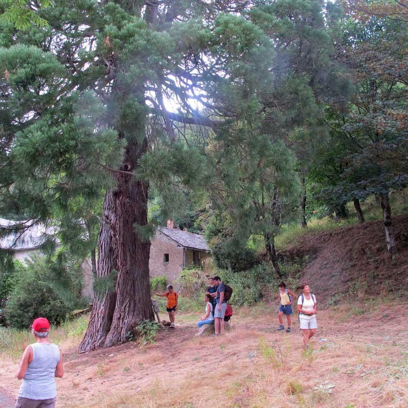 Le séquoia géant (photo Florence Arnaud)