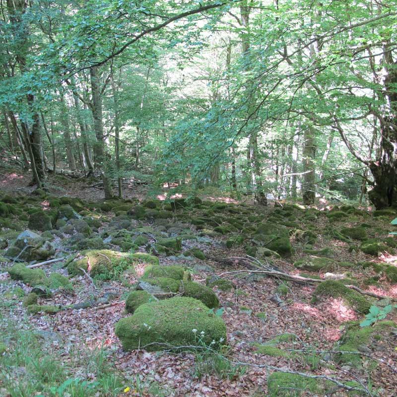 La forêt sur éboulis (photo Florence Arnaud)