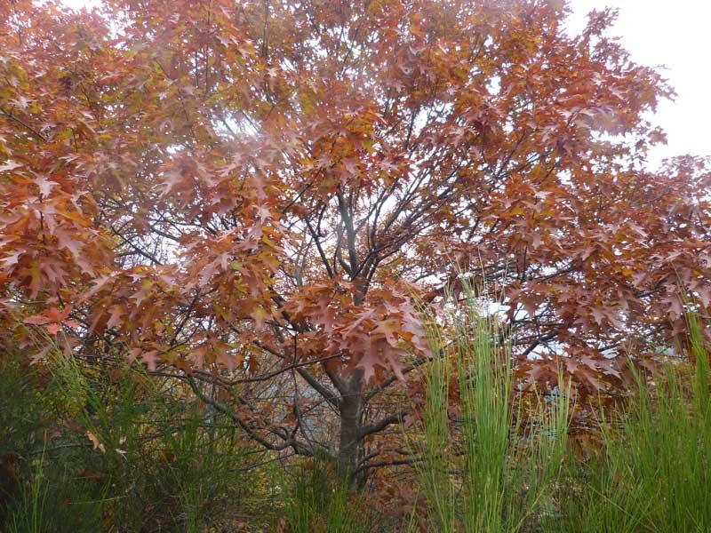 Le chêne rouge d'Amérique (photo Florence Arnaud)
