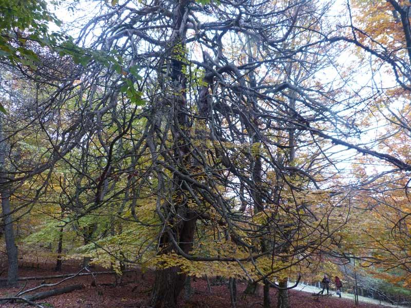 Pin sylvestre aux branches mortes (photo Georges Mattia)