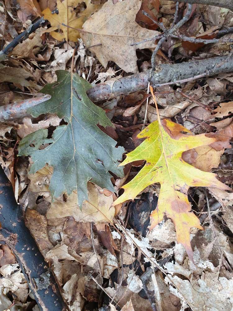 Les feuilles du chêne rouge d'Amérique (photo Philippe Gaubert)