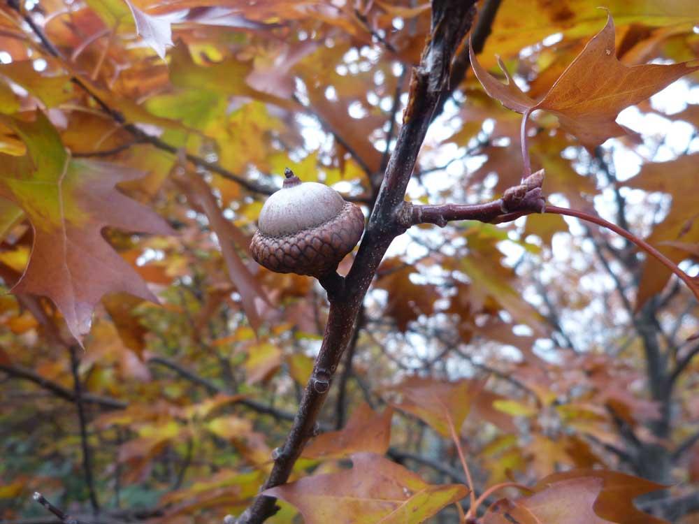 Gland de chêne rouge d'Amérique (Photo Florence Arnaud)