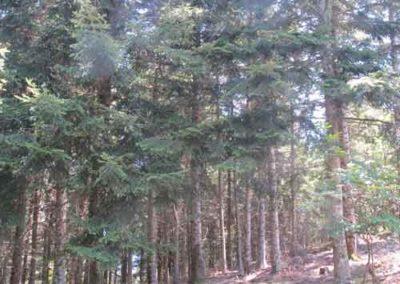 Plantation de sapins pectinés de la forêt de Pourcarès