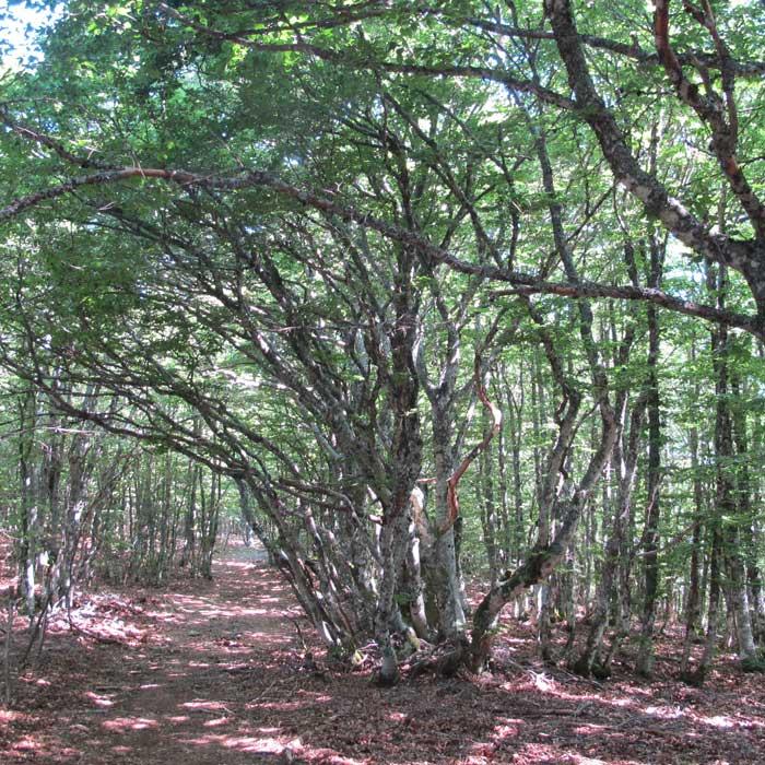 La réserve biologique intégrale de la forêt de la Brèze (Forêt domaniale de l'Aigoual)
