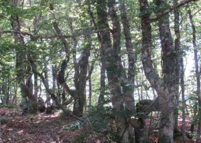 La hêtraie sur taillis de la forêt de la Brèze