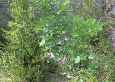 L'érable à feuilles d'aubier et le buis de Cassagnes à la Bourgarie (Causse Mejean)