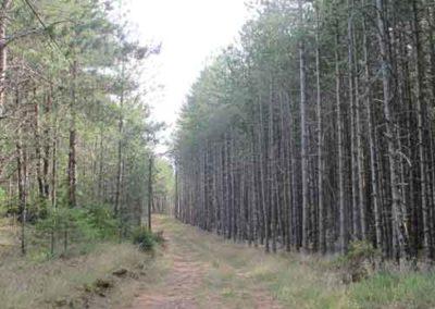 Pins sylvestres et pins noirs de Cassagnes à la Bourgarie (Causse Mejean)