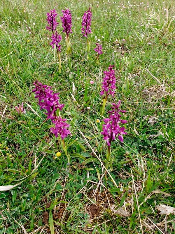 Les orchidées - Nîmes-le-Vieux (photo Bernard Sudraud)