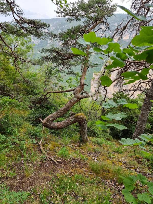 Le pin sylvestre torturé - Cassagnes - La Bourgarie (photo Philippe Gaubert)