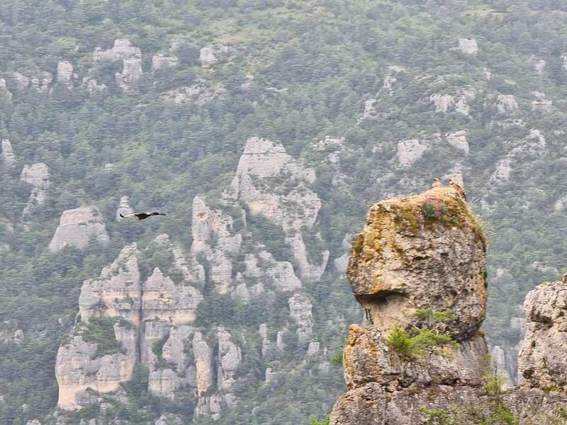 La famille vautour - Cassagnes - La Bourgarie (photo Philippe Gaubert)