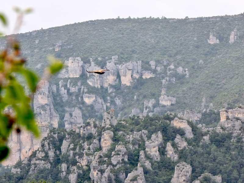 Le vautour dans les gorges du Tarn (photo Philippe Gaubert)