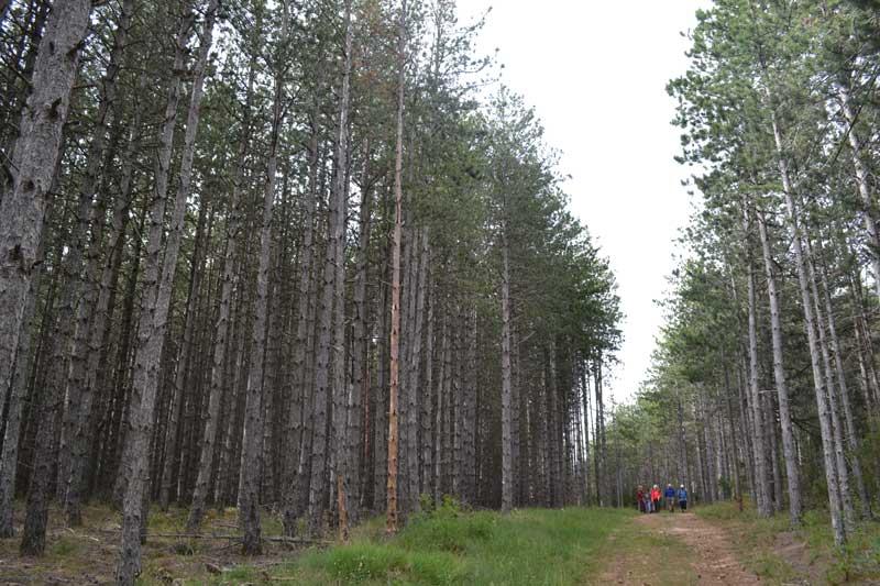 Plantation de pins noirs - Cassagnes - La Bourgarie (photo Marc Pougaud)