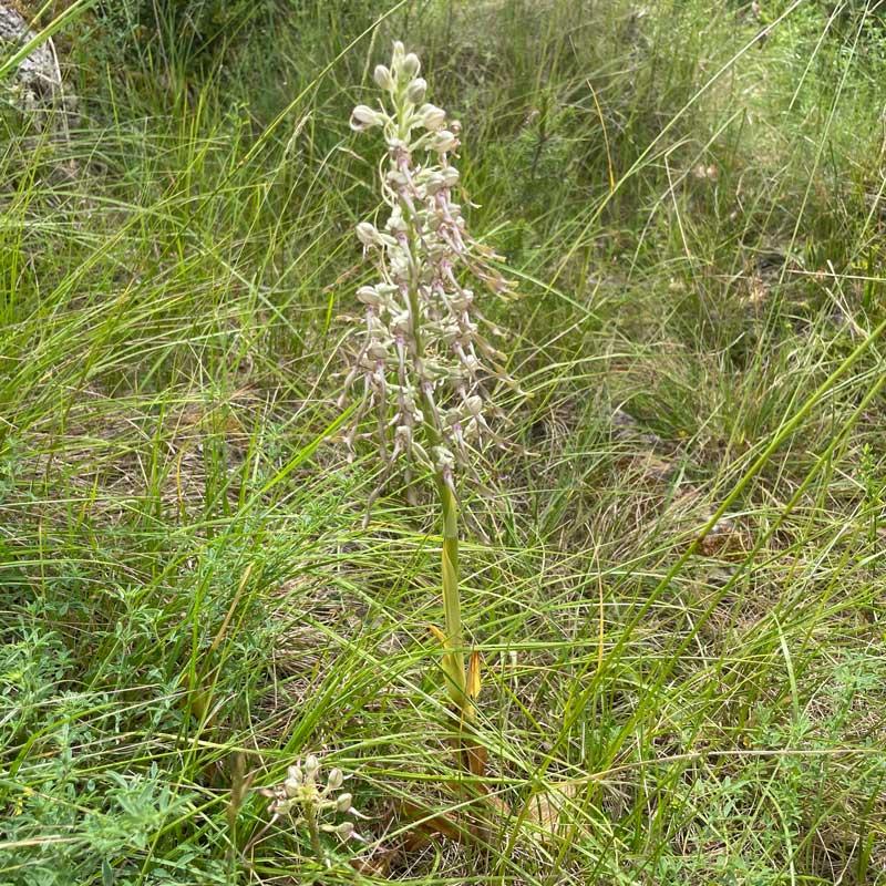 L'orchis bouc - Cassagnes - La Bourgarie (photo de Florence Arnaud)
