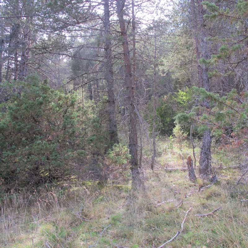 Forêt de pins sylvestre et de pins noirs - Cassagnes (photo Florence Arnaud)