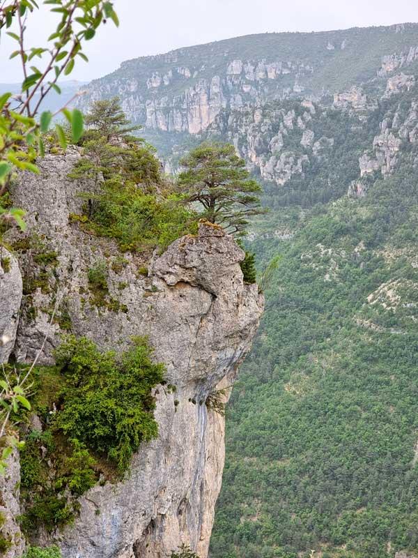 L'arbre sur la corniche de dolomie (photo Philippe Gaubert)