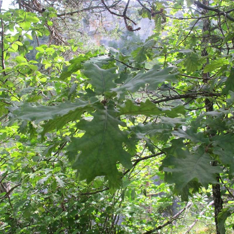 Le chêne pubescent - Cassagnes - La Bourgarie (photo Florence Arnaud)