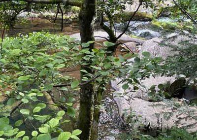 Aulne glutineux à l'arboretum de Saint-Sauveur-des-Pourcils