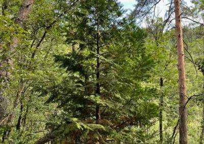 Calocèdre décurrens à l'arboretum de Saint-Sauveur-des-Pourcils