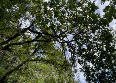 Chêne rouge d'Amérique à l'arboretum de Saint-Sauveur-des-Pourcils
