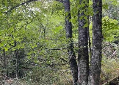 Tilleul à grandes feuilles à l'arboretum de Saint-Sauveur-des-Pourcils