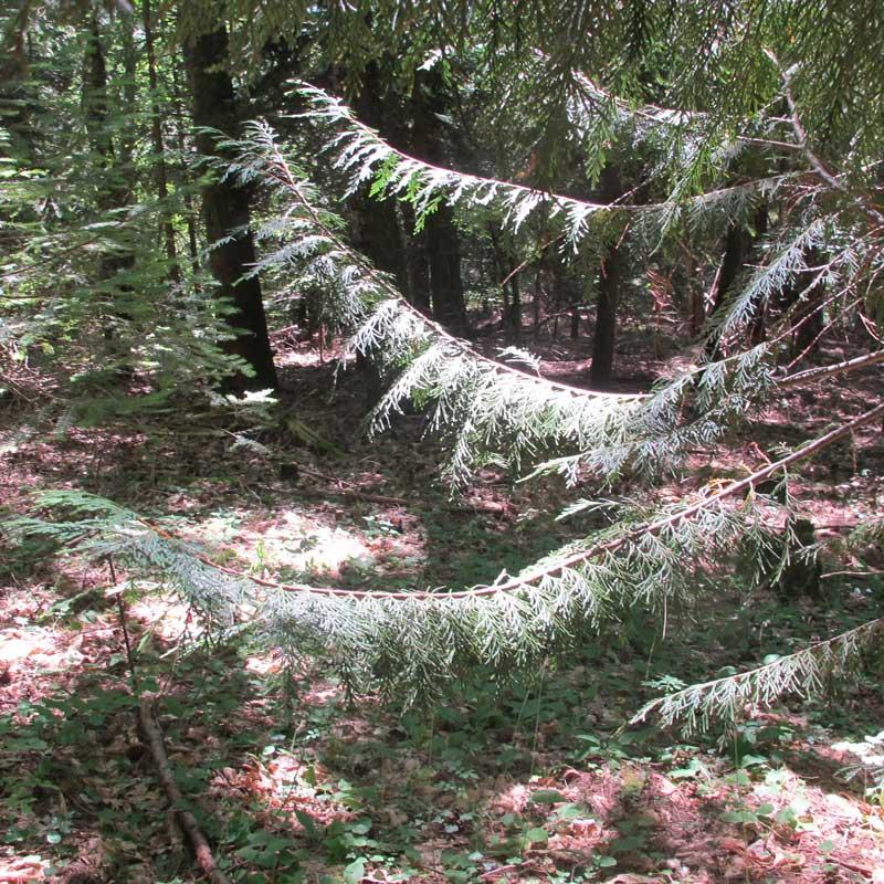 Cyprès de Nootka de l'arboretum de la Foux