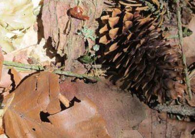 Cône de Épicéa du Colorado de l'arboretum de la Foux