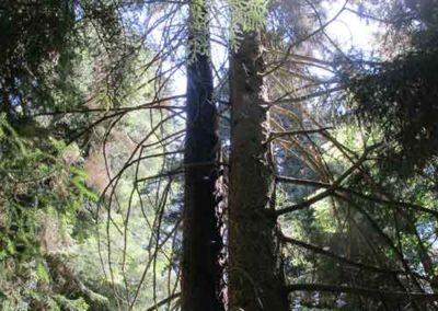 Sapin de Vancouver de l'arboretum de la Foux