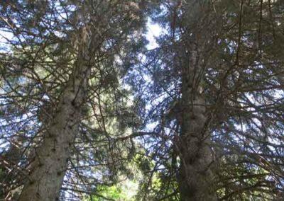 Sapin de Céphalonie de l'arboretum de la Foux